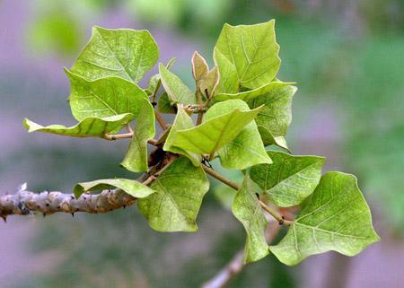 Mách bạn mẹo chữa bệnh trĩ giai đoạn đầu từ lá vông hiệu quả